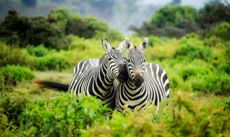 Zebras are cute, damit. Also these two look kind of like they're talking. Maybe.